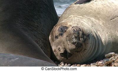 Fur seal - Argentinean fur seal is lying on the coastline of...