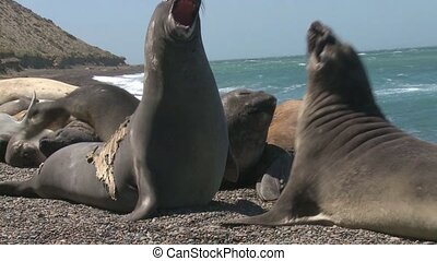 Fur seals fighting - Two male fur seals fighting. Punta...