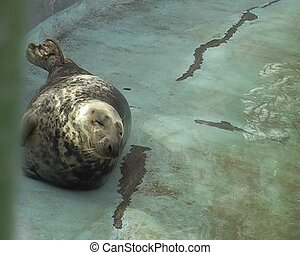 fur seals in city zoo - three seals swimming in the water on...