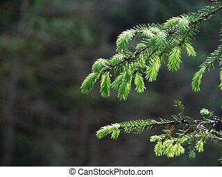 Fur-tree branch in dark wood.
