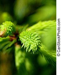 fur-tree., fir-needle.