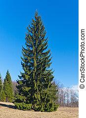 Fur-tree in park