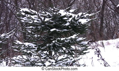 fur-trees in snow, panning - Fur-trees in snow, panning