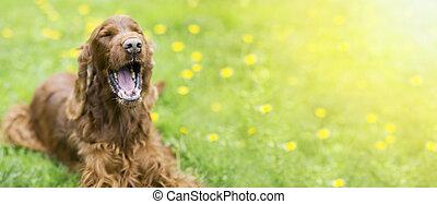 furcsa, nevető, kutya, nyár