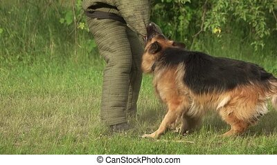 Furious hairy dog biting. Furious hairy dog biting a sleeve,...