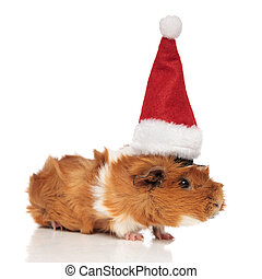 furry brown guinea pig wearing santa cap looks to side