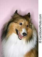 Furry Collie dog. - Collie dog.