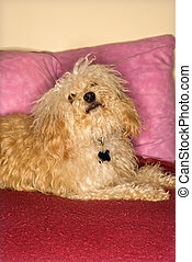 Furry dog on bed.