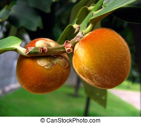 Furry Fruits - -- a local variety of the persimmon tree