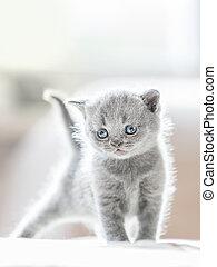 Furry grey standing cat. British shorthair.