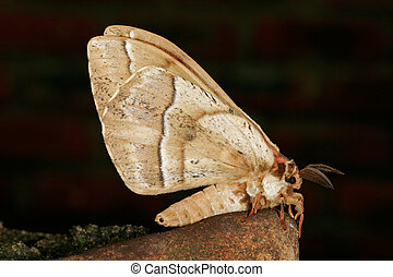 Furry moth - A nocturnal moth against a dark background