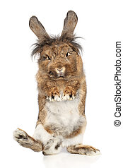 Furry rabbit standing on its hind legs - Lop-eared Rabbit...