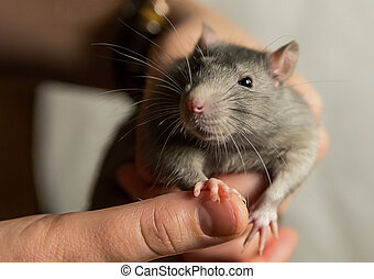 furry rats gray hair black eyes focus on the head sits on the hand looks with curiosity close-up
