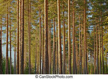furuträ skog