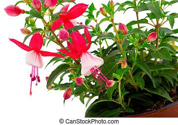 (fuschia, fuchsia, isolé, fond, fleurir, hybrida), blanc