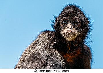 fusciceps), zwarte-aangevoerde, spin aap, (ateles