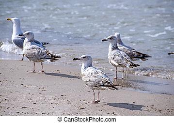 fuscus, l., junger, larus, möwe, matjes, vögel
