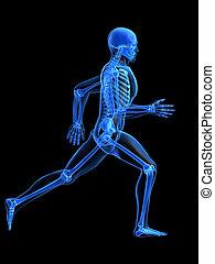 futás, ember, anatómia