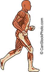 futás, emberi anatomy, vektor