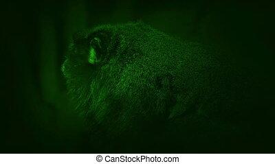 futrzany, mały, dżungla, małpa, nightvision