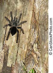 futrzany, tarantula, alfresco, pieszy, przedimek określony przed rzeczownikami, drzewo, trunk.