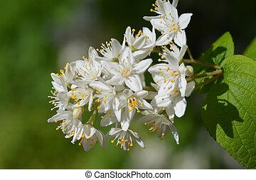 Fuzzy deutzia - Fuzzy Deutzia white flowers - Latin name -...