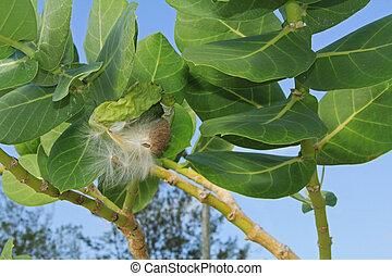 Fuzzy Seed Parachutes of a Giant Milkweed - Fuzzy seed...