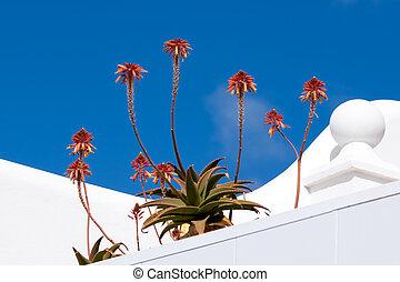 Fynbos Aloe ( Aloe succotrina)