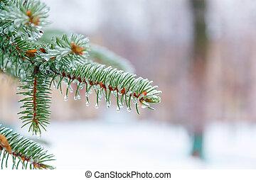 fyrre, branch, belagt, is, og, sne, efter, en, iskolde,...