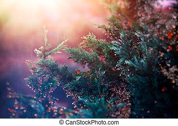 fyrre træ, ind, solnedgang, lys