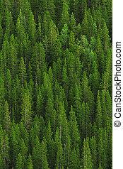 fyrre træ, skov