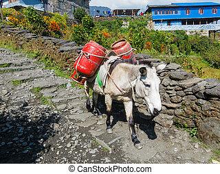 gás, burro, carregar, cilindros, dois