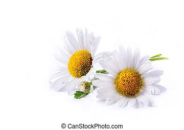 gänseblümchen, kunst, hintergrund, freigestellt, sommer, weiße blume