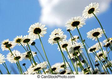 gänseblümchen, mit, blauer himmel