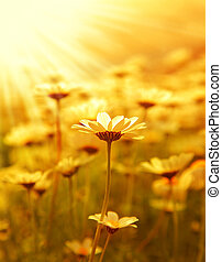 gänseblumen, blume, feld, aus, sonnenuntergang