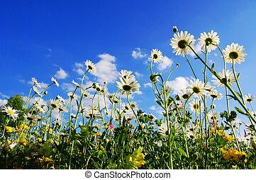 gänseblumen, blumen, in, sommer