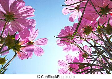 gänseblumen, blumen, in, sommer, unter, blauer himmel, von, unterhalb