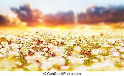 gänseblumen, feld, aus, sonnenuntergang