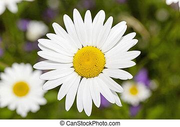 gänseblumen, springen jahreszeit