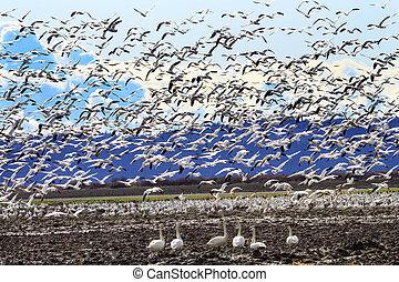 gäss, trumpetare, cygnus, tagande, flygning snöar, hundreds, hot, svar, av, hålla ögonen på, swans, buccinator