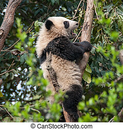 géant, arbre, panda