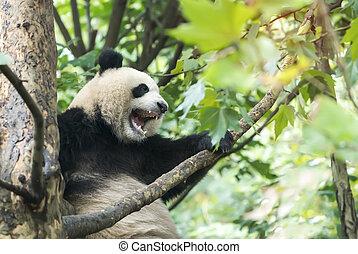 géant, arbre., sur, panda