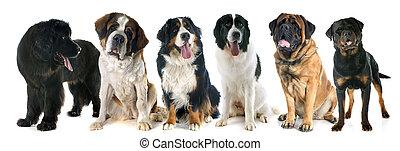géant, chiens