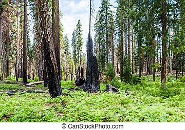 géant, parc, national, arbre, sequoiadendron, giganteum, sequoia, brûlé