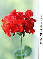 géranium, fleur