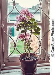 géranium, fleurs