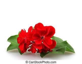 géranium, fleurs, pelargonium