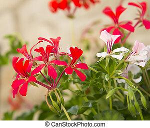 géranium, floraison