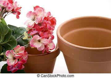géranium, pot fleurs