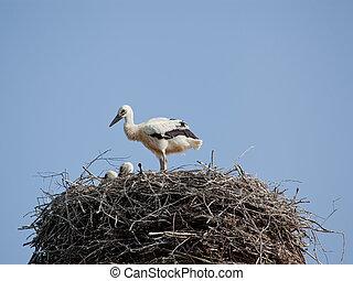 gólya, csecsemő, búvóhely, fehér, madarak